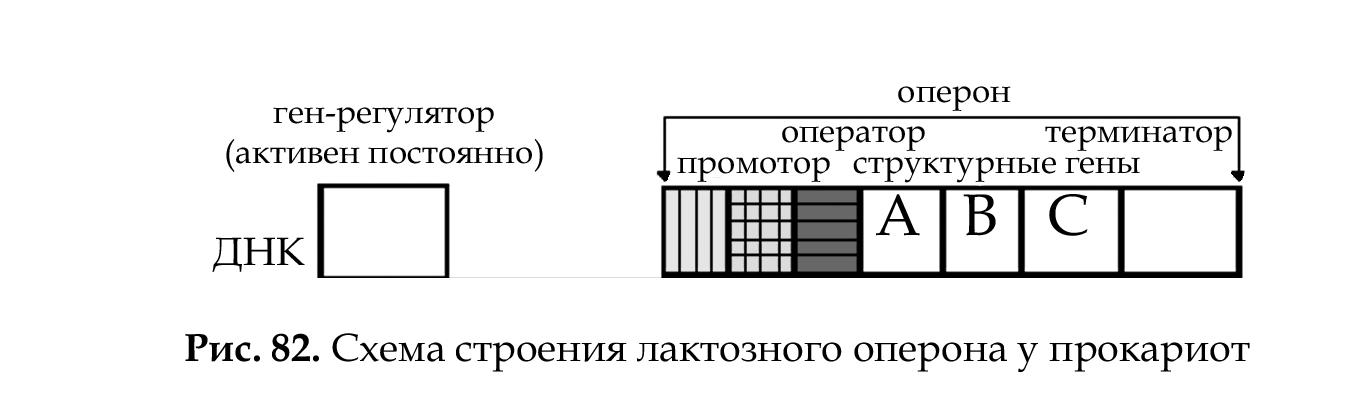 Оперон у прокариот и эукариот